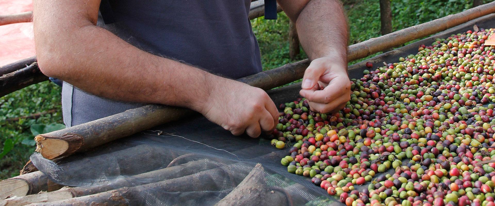 Coffee beans selection coffeelab